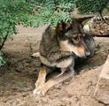 Собака- молодая, стерилизованная, привитая